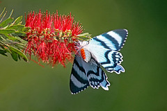 Under the Zodiac (aussiegypsy_Land of Tables, FNQ) Tags: zodiac day moth north queensland underside underneath below under wings body orange stripe blue black bands lepidoptera large diurnal rainforest wild wildlife insect insecta australia australian aussie athertontablelands laketinaroo cairnshighlands nativeplant callistemon red bottlebrush tree blossom nectar sip sipping