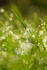 At morning (digoarpi1) Tags: agriculture beautiful biological circle cleam colorful dew dewdrops drop earth emergent gardening glitters grass green ground grow growing harmonic herb life nature plant round small soil spring sprout vital water wet white