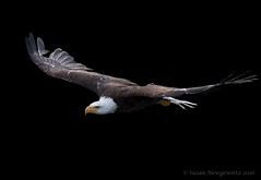 Eagles soar because they always focus on their goals (Susan Newgewirtz) Tags: nikond750 raptor eagle americanbaldeagle ontario