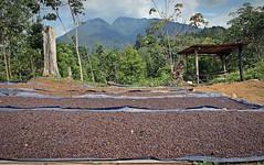 Menjemur kopi (Hafid Wanala) Tags: landscape kopi robusta merangin bktungkat alamkotosepuluh sumberdaya alam lestari