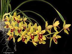 Cymbidium (Pee Wee x Peter Pan) 'Ori Gem' (Dylan's Orchids) Tags: cymbidium pee wee x peter pan ori gem