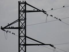 Birds on the wire (jordigasion) Tags: birds blacklight nature lleida olympus landscape