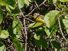 Magnolia Warbler, Mackworth Island (Bill Bunn) Tags: magnoliawarbler falmouth maine