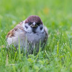 Eurasian Tree Sparrow (Passer montanus), juv.-7480 (Stein Arne Jensen) Tags: 1cy 1k bird buskerud canon70d canonef100400f4556lisusm eurasiantreesparrow europa europe feldsperling firstlivingyear fugl frstekalenderr gorrinmolinero juvenil juvenile kongsberg kongsgrdmoen moineaufriquet norway pajaro pardalmontez passermontanus passeridae pilfink primeraodevida ringmus rnesciza skogspurv sperlingsvgel spurvefamilien spurvefugler spurvfink steinarnejensen tsn179630 vogel avescanoras ihagen inmygarden lintu oiseau passereaux passeriformes passerines perchingbirds pikkuvarpunen pjaros singvgel songbirds