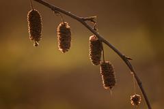 late summer (Bea Antoni) Tags: tamron canon nahaufnahme nature natur macro makro autumn herbst zweig ast plant pflanze light licht latesummer sptsommer
