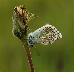 Male Chalkhill Blue - Hanging around II (glostopcat) Tags: chalkhillbluebutterfly butterfly insect invertebrate glos wildflower butterflyconservation summer prestburyhillnaturereserve