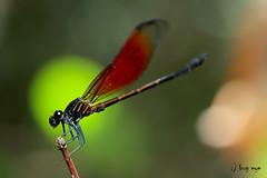 Euphaea ochracea / แมลงปอเข็มน้ำตกสีตาลแดง, แมลงปอเข็มหางโป่งปีกแดง