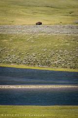 Distant Bison (Philip Kearney) Tags: park blue usa green water animal river iso100 nationalpark stripes wildlife unitedstatesofamerica f90 northamerica yellowstone wyoming bison kearney philip wy philipkearney ©philipkearney