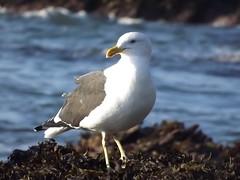 Gaviota Dominicana (Larus Dominicanus) (Mauricio Andrees) Tags: ocean mar seagull gaviota oceano fujifilmfinepixs4000