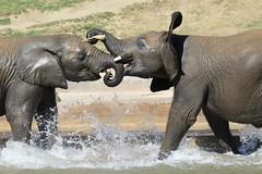 Don't play with me! (Mariusz Murawski) Tags: elephant pool animals fight animalplanet safaripark