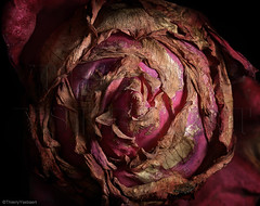 When yearnings are getting more and more ingrained in the past . (thierry.ysebaert) Tags: pink autumn roses flower detail art nature rose flora nikon erotic artistic antique decay roos passion antwerp rozen thierry roze erotique pinkflowers deterioration dyingroses ysebaert thierryysebaert rozenfotos ysebaertthierry rozenfotografie rozenfoto rosesindecay