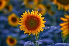 Sunflower (Kansas Poetry (Patrick)) Tags: sunflower renoks patricklovesnancywhowouldntcome
