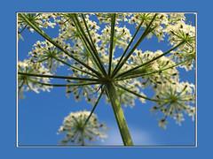 Fluitenkruid (Anthriscus sylvestris) (Geziena) Tags: holland macro closeup 50mm nederland natuur lucht wit blauwe bloem bloei fluitenkruid olymppus e620