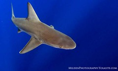 Carcharhinus plumbeus (Jeff Milisen) Tags: blue wild fish jeff nature water animal swimming nose hawaii shark underwater snorkel natural oahu background wildlife teeth dive bluewater sandbar scuba diving device snorkeling tropical backgrounds diver rare fins fad elasmobranch aggregating carcharhinus plumbeus milisen milisenhawaiiedu