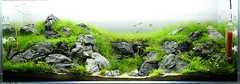 Reborn - update - 6wks (viktorlantos) Tags: plants aquarium ada aquascape tropica aquascaping greenaqua