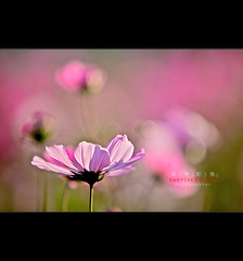 Pink Lady ( SUNRISE@DAWN photography) Tags: pink light seascape flower floral backlight landscape flickr taiwan backlit elegant   delicate cosmos backlighting    tainancity  stronglight    500px  taiwanlandscape sunrisedawn      gettyimagestaiwanq2 gettytaiwan12q2 gettyimagestaiwan12q3 gettytaiwan12q4 gettytaiwan13q1 gettytaiwan13q2 gettytaiwan13q3 taiwanseascape gettytaiwan14q1