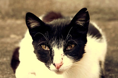 isis. (luvremembered) Tags: cute cat canon kitty isis mlancolie tnbreux nerval canoneos400d