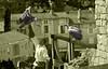 A807-Entre buitres (Chauvigny) (Eduardo Arias Rábanos) Tags: bw black blancoynegro birds nikon noiretblanc aves bn vultures candids biancoenero buitres spectacle d300 espectáculo chauvigny robados desaturación eduardoarias eduardoariasrábanos