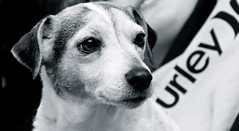 urley (snapclicktripod) Tags: blackandwhite dog blackwhite dof open canine jackrussell missy urley 222366 openhappiness ourdailychallenge