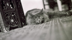 Moogling (Down by the water) Tags: ilfordxp2super norwegianforestcat kiev4 jupiter3 moogthecat yahoo:yourpictures=yourbestphotoof2012