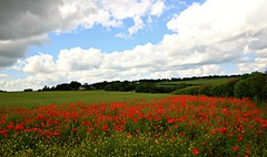 Where I Lay Me Down To Sleep (Steve Major) Tags: landscape dorset poppies poppyfield sigma1020 stevemajor canon60d flickraward fleursetpaysages mygearandme mygearandmepremium