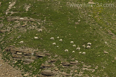 "Mountain goat herd • <a style=""font-size:0.8em;"" href=""http://www.flickr.com/photos/63501323@N07/7834738818/"" target=""_blank"">View on Flickr</a>"