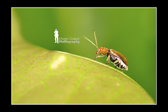 Borneon Metallic Brown Beetle (Ringgo Gomez) Tags: 1001nights macrolicious anawesomeshot nikond90 flickraward malaysianphotographers tamronsp90mmmacro elitephotography macromarvels macrolife perfectphotographer batterthangood sarawakborneo nikond90club 1001nightsmagiccity flickraward5 flickrawardgallery