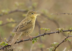 Grasshopper Warbler (Gary Faulkner's wildlife photography) Tags: grasshopperwarbler sussexbirds