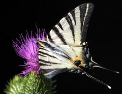 IPHICLIDES PODALIRIUS  -  SCARCE SWALLOWTAIL (quarzonero ...Aldo A...) Tags: iphiclidespodaliriusscarceswallowtail butterfly farfalla nature coth sunrays5 ngc