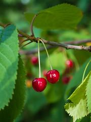 red berries (maj-lis photo) Tags: red berries