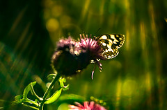 kissed by light (bresciano.carla) Tags: flower butterfly pentaxk500 helios442 vintage manual lens nature light bubbles naturalmente pentaxart