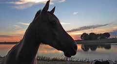 horses at sunset (daaynos) Tags: sunset horses horse silhouette reflections portrait sky trees river hoeksewaard dehoekschewaard dehoeksewaard netherlands oudbeijerland spui