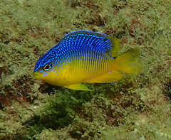 Cocoa damselfish (Skeptic14) Tags: st andrews jetty diving