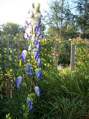 Monkshood In The Morning. (geevee41) Tags: monkshood flower summer prairies