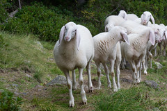Pecore (Ivoo90) Tags: pecora pecore verde bianco trentino gregge sheep green white flock