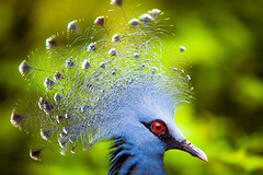 Victorian Crowned Pigeon (Mbakker81) Tags: bokeh natuur closeup deptoffield nature night animals 2016 canon dof animal waaierduif blue sigma vogel bird duif colors eye ngc