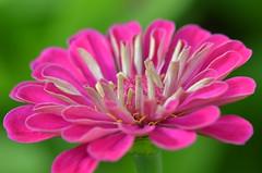 Pink treasure (dfromonteil) Tags: pink rose fleur flower green vert macro bokeh colors couleurs nature plant plante light lumire wow brilliant