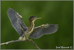Dat snapper was dis big... (Earl Reinink) Tags: waterfowl heron greenheron earl reinink earlreinink nature naturephotography nikon nikond5 ddtdtazdra