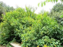 Cestrum aurantiacum --  Yellow Shrub Jessamine 4116 (Tangled Bank) Tags: kanapaha botanical gardens alachua county florida plant flora botany cestrum aurantiacum yellow shrub jessamine 4116 flowers