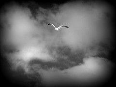 volo libero (fotomie2009 OFF) Tags: gabbiano seagull uccello bird fly clouds nuvole bn bw monocromo monochrome