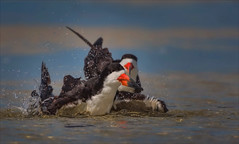Don't Rain on My Parade (kathybaca) Tags: animal animals bird birds black skimmer shore ocean sand beach nesting nature wildlife feathers water pair funny comical world earth planet