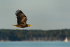 Pygargue à queue blanche (Jean-Phi.) Tags: pygargueàqueueblanche grandaigledemer aiglebarbu huardorfraie haliètealbicille haliaeetusalbicilla rapace aves accipitriformes accipitridae haliaeetus whitetailedeagle seeadler