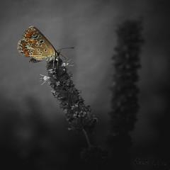Papillon butineur (xpressx) Tags: paisaje macromondays green flowers flower bw macro butterfly insect desaturation noiretblanc