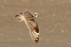 Short-eared Owl fly by - explored (alicecahill) Tags: alaska usa wild nome owl wildlife bird shortearedowl ak flying alicecahill raptor asioflammeus animal