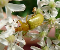 Sulphur Beetle. Cteniopus sulphureus. Tenebrionidae (gailhampshire) Tags: sulphur beetle cteniopus sulphureus tenebrionidae taxonomy:binomial=cteniopussulphureus
