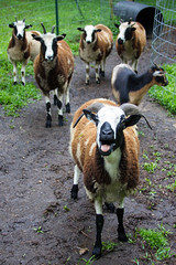 Jacob Sheep Ewes (K*Adams) Tags: tennessee farm jacob sheep ewe