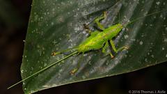 Conehead Katydid Female (Tom's Macro and Nature Photographs) Tags: macrophotography insects rainforest peru amazon katydids katydid orthoptera ovipositor