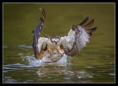 Intensity... (DTT67) Tags: osprey birds raptors nature nationalgeographic wildlife canon 1dxmkii onone