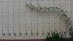 das raster (nchenga) Tags: raster plant wall