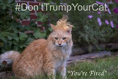 _DSF8087-Trump ur Cat (CoriJae) Tags: cat trump antitrump hair wig composite grumpy angry fired apprentice orange tabby pumpkin weave